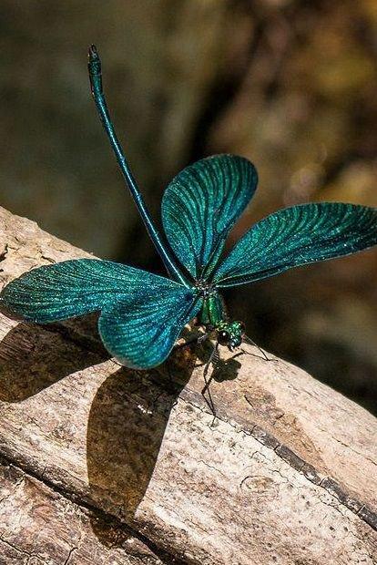 greek Damselfly أو الآنسة اليونانية  تنتمي للحشرات مقترنات الأجنحة #سحر_الطبيعة