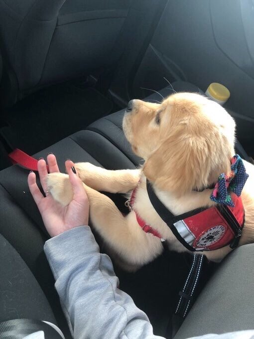 This is Polka. She's training to be a service pup, but cars are still scary so please hold her paw. 12/10 would never let go <br>http://pic.twitter.com/I4wogNtrkK