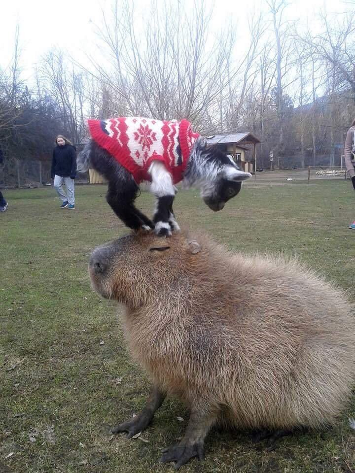 yeah work and life is important but here's a reminder that capybaras exist and are fantastic❤️