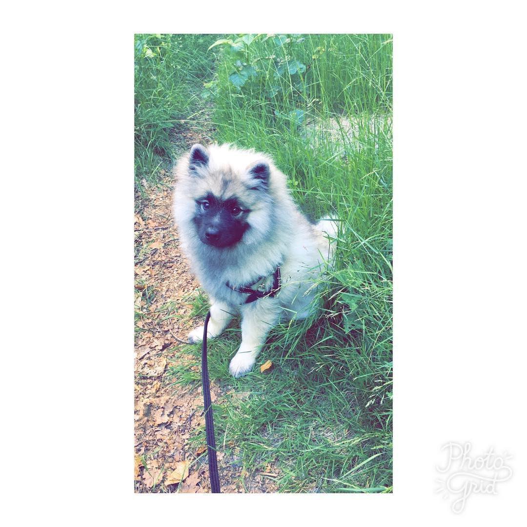 RT @po_iz: 勝手にポメちゃんだと思い込んでいた子が明らかにポメラニアンではない大きさに成長しているのを見て、キースホンドという犬種を初めて知った。  📸 https://t.co/B8QD8I4foS https://t.co/TDheqmEm1b