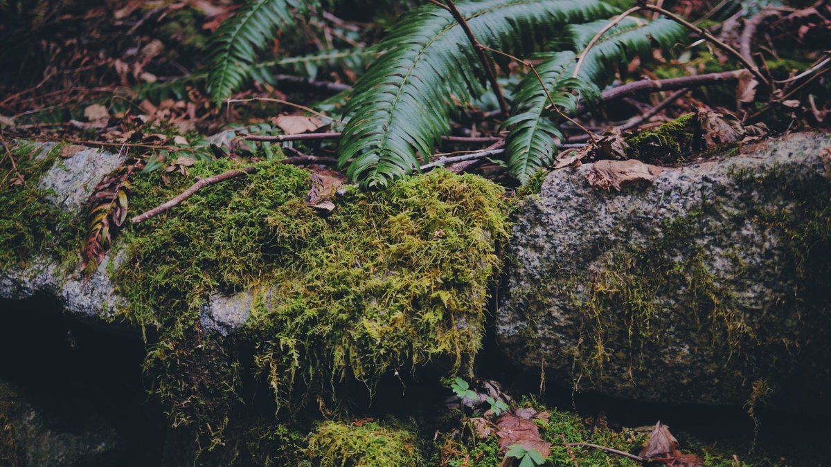 Forest floor lushness to shannon falls