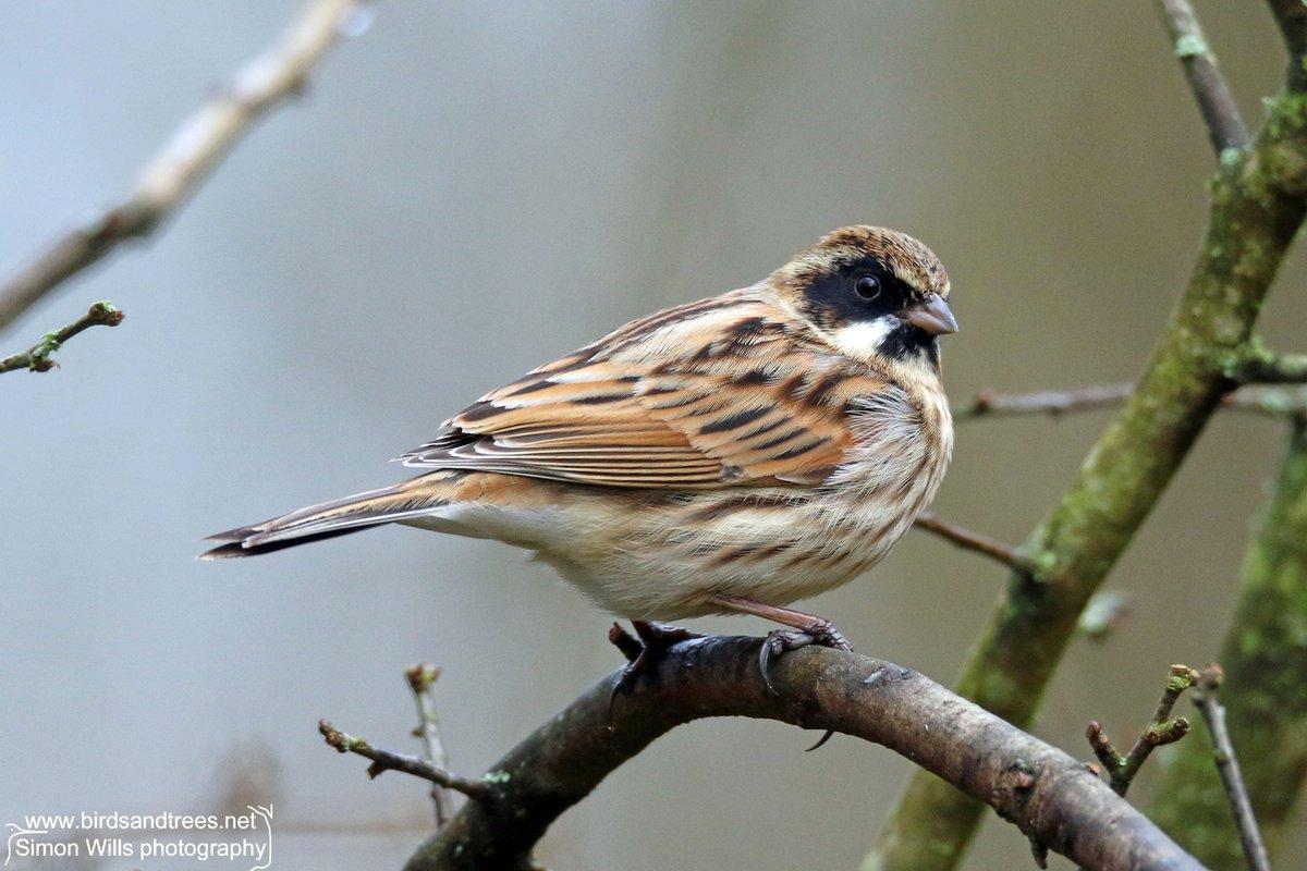 There are lots of old names for the reed bunting including &#39;water sparrow&#39; (my favourite!), &#39;black bonnet&#39;, &#39;chink&#39;, and &#39;ring bird&#39;. #birds<br>http://pic.twitter.com/ZvhkYISO2R