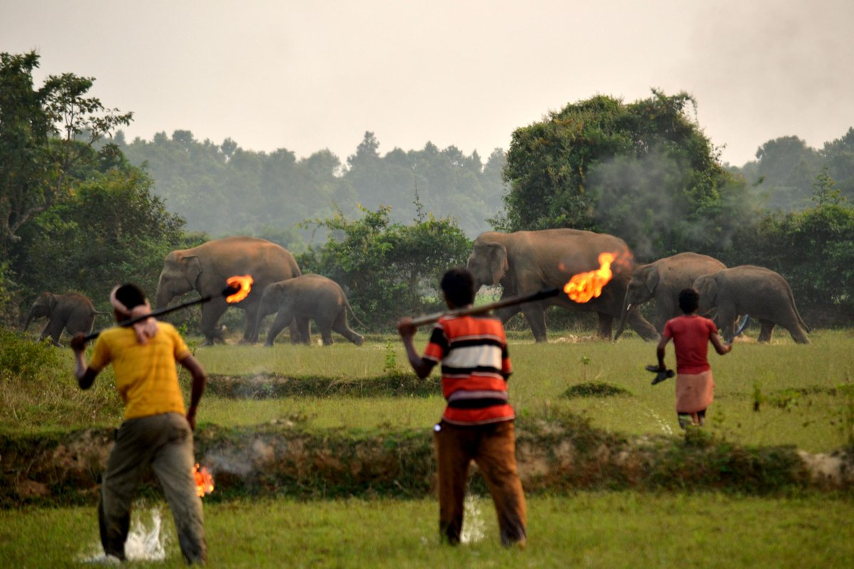 INDIAN VILLAGERS Hurl FIREBOMBS at #Elephant &amp; #Calf - For Damaging Their Crops!   https://www. independent.co.uk/news/world/asi a/india-elephant-firebombs-human-conflict-crops-endangered-bishnupur-a8730261.html &nbsp; …   #Deforestation  #Habitats<br>http://pic.twitter.com/sA8tswNqBb