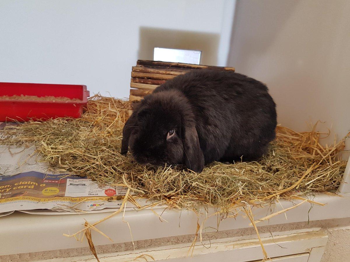 Black Rabbit found in Salisbury (SP2) on 16th January 2019 #foundrabbits #foundpets  http:// dlvr.it/Qwtnqx  &nbsp;  <br>http://pic.twitter.com/iEf6VAKJru