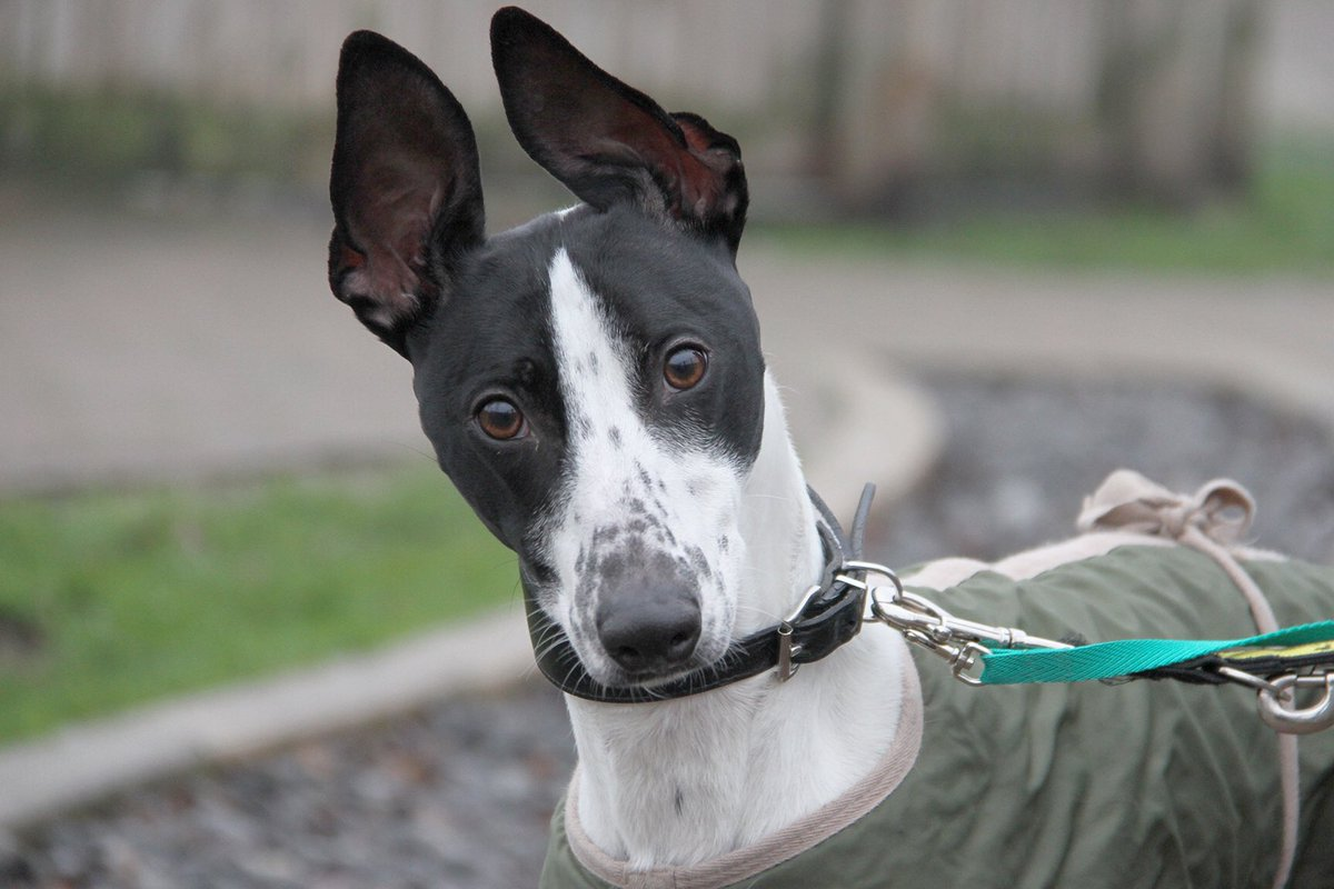 How adorable is Jackson? This loveable #Lurcher is 2 years old and could live with another dog and children over 11 #rescuedog #manchester #adoptadog  #rescuelurcher #dogoftheday #lurcherlife #lurcherlove #doglove #jackson #thursdayvibes #ears #bigears #bestfriend  @DogsTrust<br>http://pic.twitter.com/gLv5nTbz4U