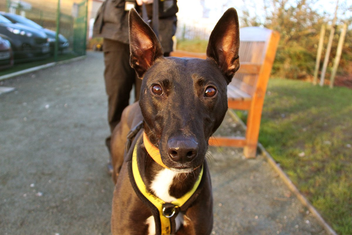 We've just been for a little sunset walk with Comet. #rescuedog #manchester #crossbreed #ears #bigears #lurcher #rescuelurcher #lurcherlove #lurcherlife #sunset #sunsetwalk #walkies #manchestersunset #dogsofinstagram #adoptadog #rehome #thursdayvibes #adogisforlife @DogsTrust<br>http://pic.twitter.com/0u9c00wC1i