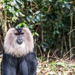 Image for the Tweet beginning: Primate charm. The lion-tailed macaques
