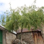 Willow trees (Salix spp.) are highly valued by the Gorani people of the #Balkans. They are considered a cultural cornerstone species for this group & are used in a variety of rituals to ensure a good harvest, protection against #evileye, & in marriage rites.  #planthunter