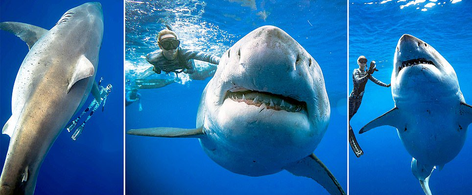 Divers jumped in to take photos with the world's largest ever recorded great white shark 'Deep Blue' feasting on a dead whale in Hawaii  https:// dailym.ai/2DhvkFz  &nbsp;  <br>http://pic.twitter.com/ZbQC5GZF7m