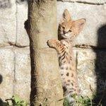 多摩動物公園のサーバルの赤ちゃん「ニール」と「バズ」がかわいすぎる!