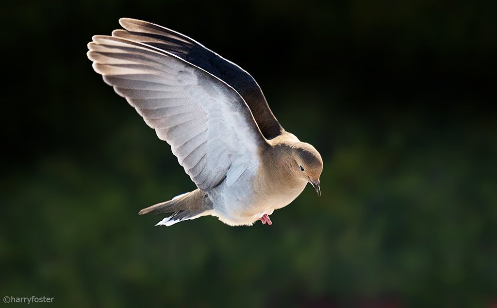 A Mourning Dove gently coming in for a look on a cold day.#doves #birding #birdsoftwitter<br>http://pic.twitter.com/iMiK0uLXPz