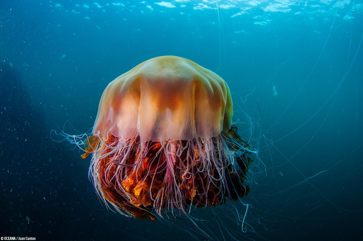 The lion's mane jellyfish cannot be missed. With tentacles up to 190 feet long and a bell diameter of almost 7 feet wide, some individuals even rival in size the blue whale, the largest animal in the world! <br>http://pic.twitter.com/kVbZLvx4c4