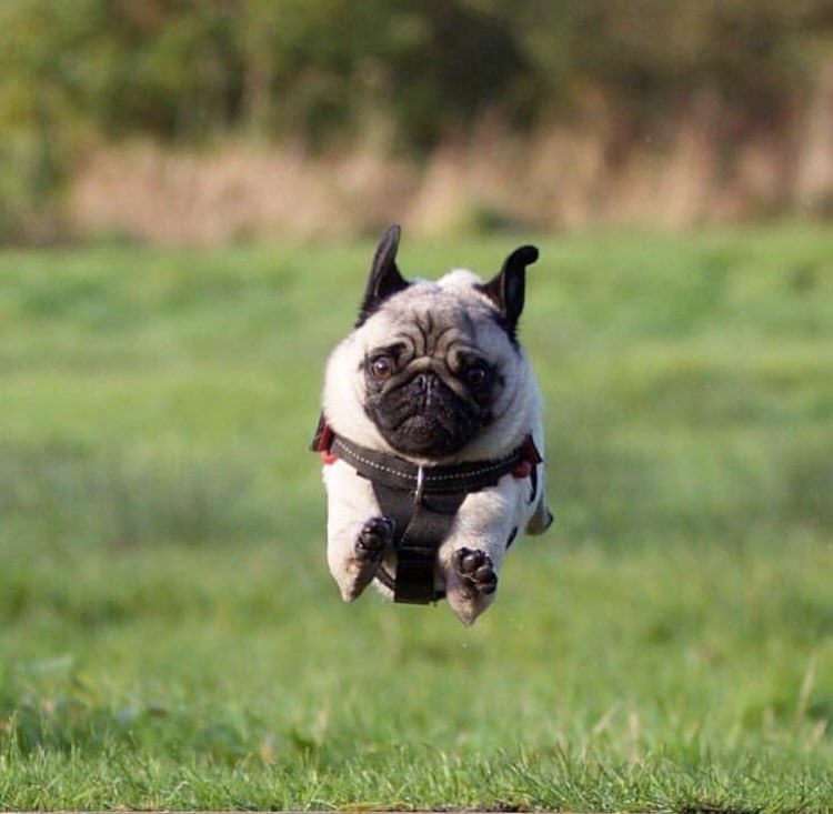 pugs are also known for their flying ability
