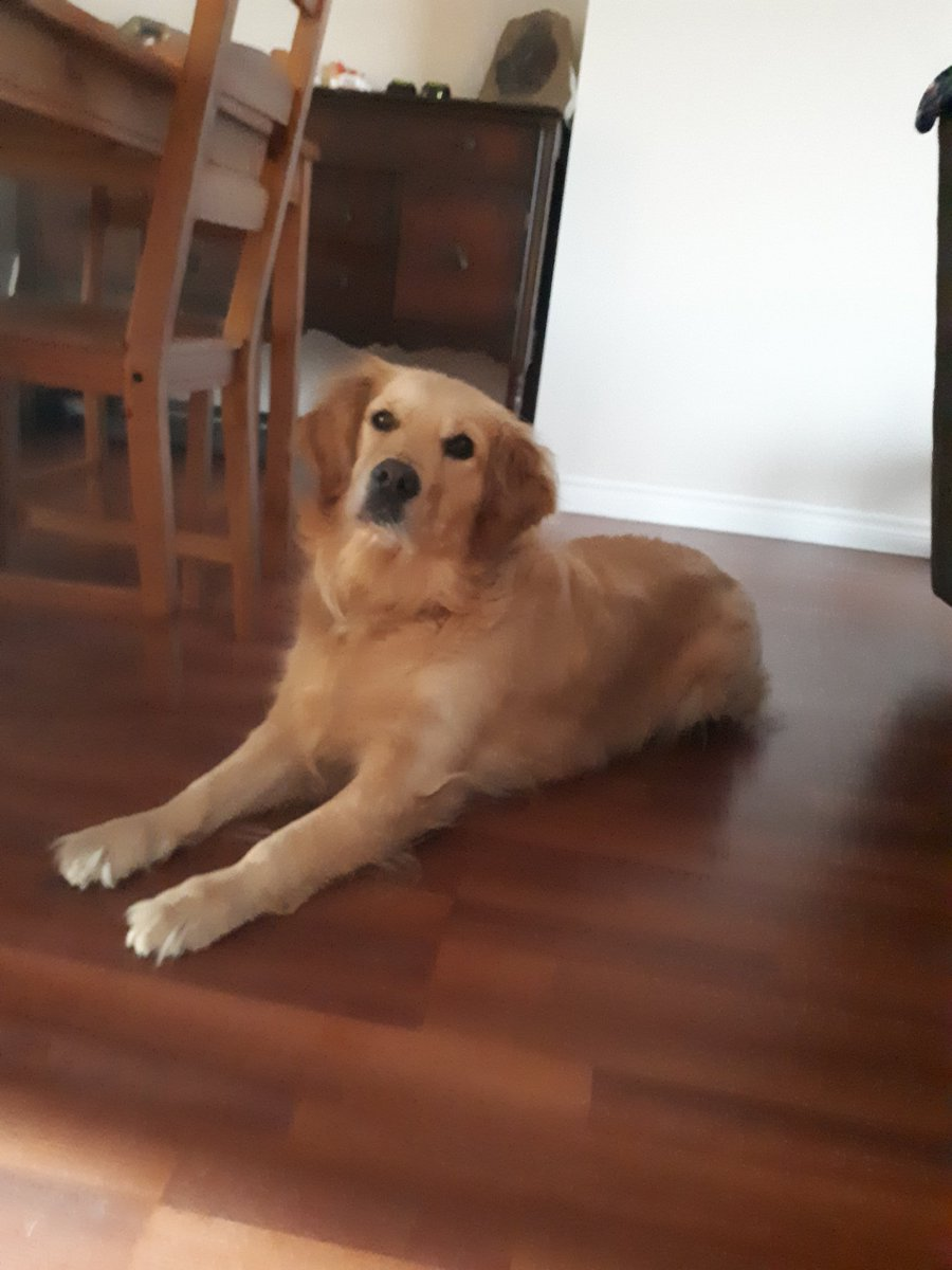 Morning stretches to start the day right! #goldenretrievers #goldengracie #DogCelebration #dogsoftwitter <br>http://pic.twitter.com/Zb4wIcaogH