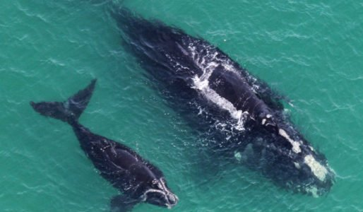 Great News! Another Right Whale Calf spotted. Last year there were none this year 2. Whale #3317 is the proud mom. Only 415 of these #Whales left. Every birth a celebration! <br>http://pic.twitter.com/PYMtujZkPR