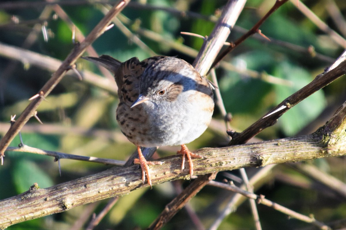 A dunnock in the garden today – the #bird has many fascinating names from the past, including cudgie, dyke sparrow, hedge chat, shufflewing, creepie and blue jannie <br>http://pic.twitter.com/dUPnYN4NSp