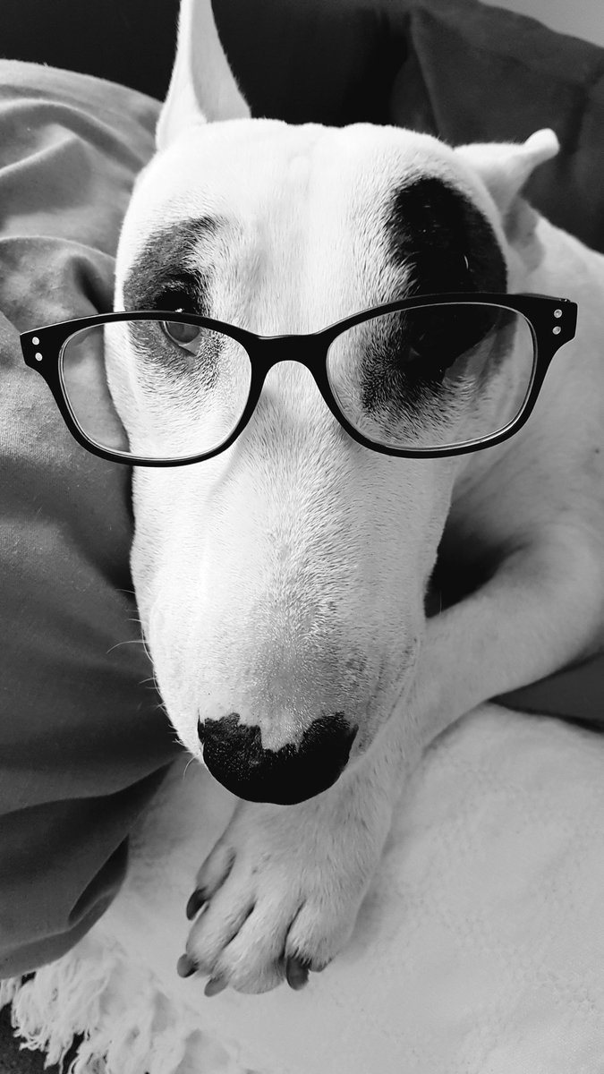 &quot;Trying to be clever&quot; #BenTheBullterrier  #bullterrier <br>http://pic.twitter.com/ate4mzoLg8
