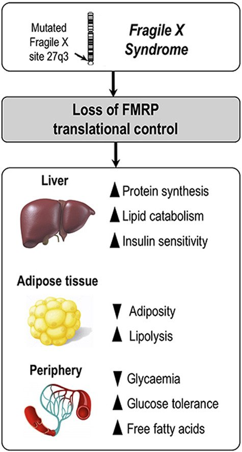 The translational regulator #FMRP controls #lipid and #glucose #metabolism in mice and humans #FragileX