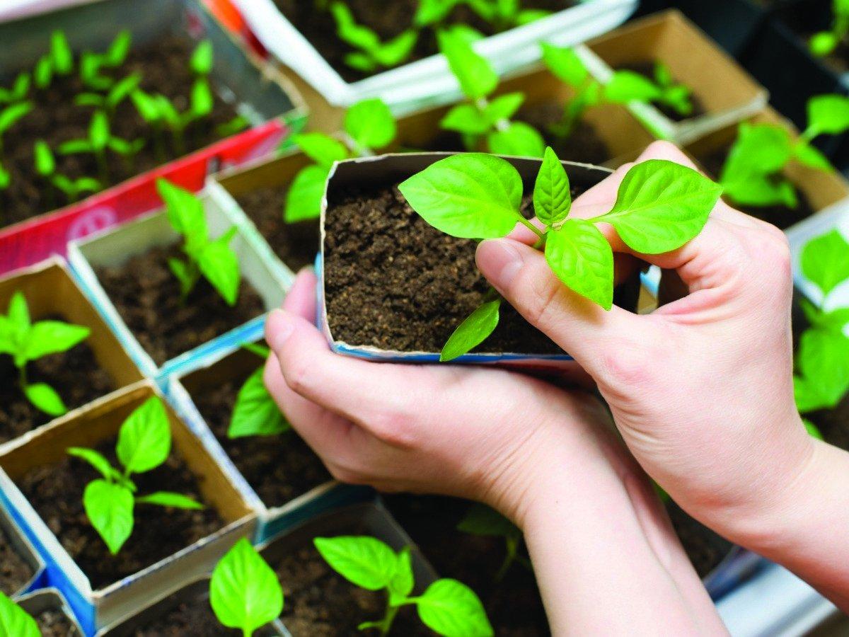 Выращивание рассады в картинках