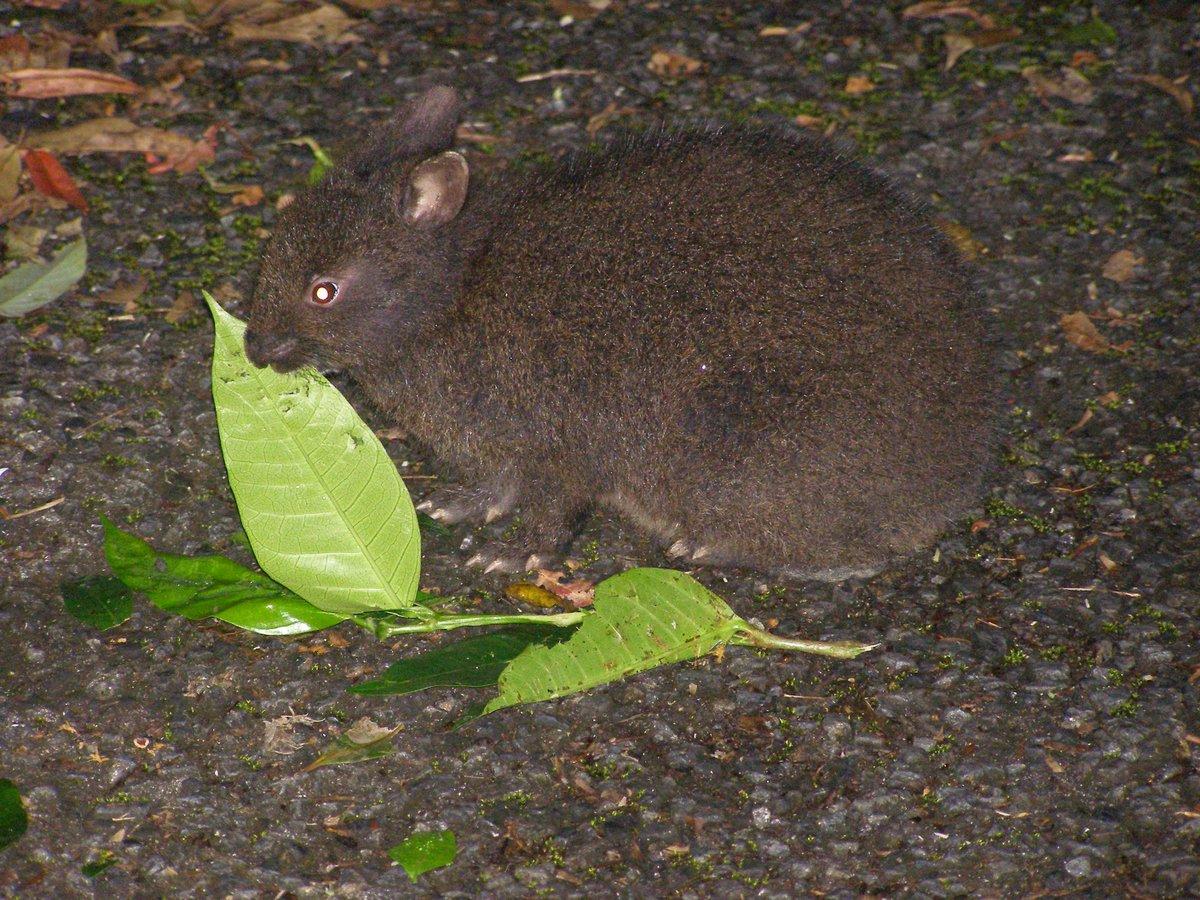 奄美大島で連想するのは、島唄、黒糖、それとも希少動物?希少種のアマミノクロウサギは外来種のマングースに脅かされてきましたが、対策が進んだおかげで昨秋の活動中に10羽も見ました。ところが今、意外な生き物が新たな外来種に…! https://t.co/QZdBXfv5Hl #外来種 #奄美大島 ©奄美哺乳類研究会