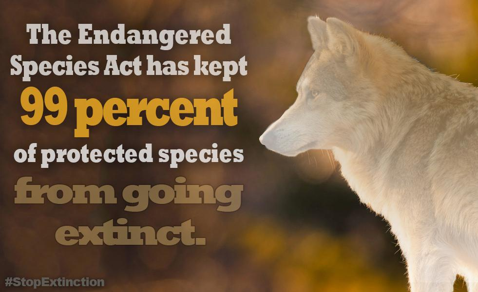 Gray wolves, incredible icons of our landscape, are still missing from the vast majority of their former range.  @GavinNewsom, please oppose all efforts to gut vital protections for gray wolves! #StopExtinction