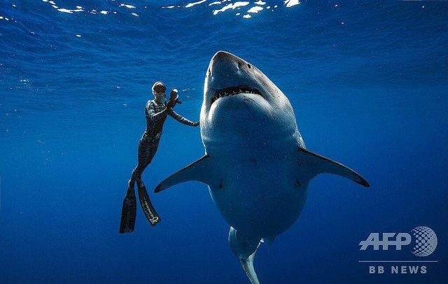 【体長約6m】ハワイ沖に巨大ザメ出現、ダイバーと泳ぐ https://t.co/BMuh9U45dY  このサメは少なくとも50歳に達していて、体重はおよそ2.5トン。「衝撃的なまでに太って」おり、妊娠している可能性もあるそう。