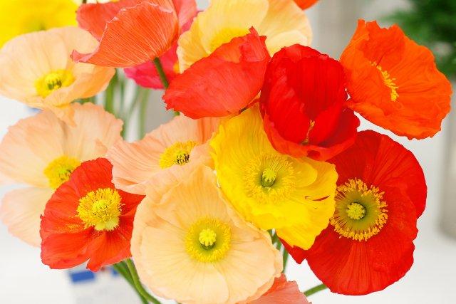 【お花屋さんの切花図鑑】  ●ポピー  正式名称は「アイスランドポピー」。  毛むくじゃらのつぼみがパカッと割れてカラフルな花びらが出てくる、咲く過程が楽しい。  ちゃんと咲くので、つぼみを買うのが吉。  #切花図鑑 https://t.co/nhhfQOCJlw