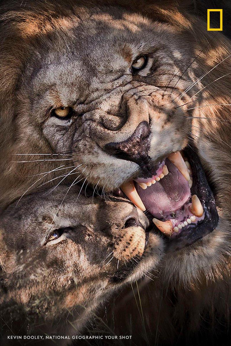 Top Shot: Portrait of Lions https://t.co/N4fbYtqv3Q #YourShot
