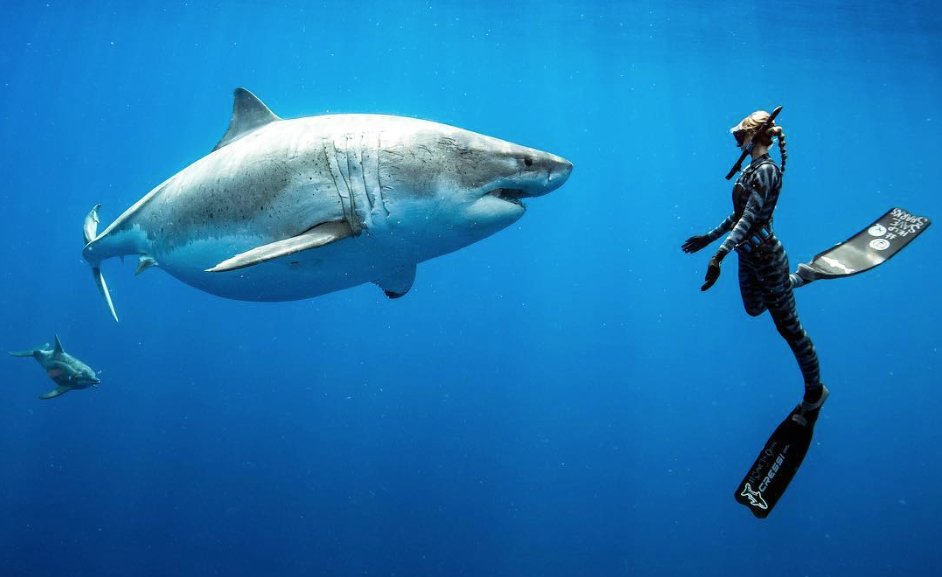 Des plongeurs nagent avec une femelle #requin blanc au large d' #Hawaï 😮 https://t.co/gOtqWhYgtW #mer