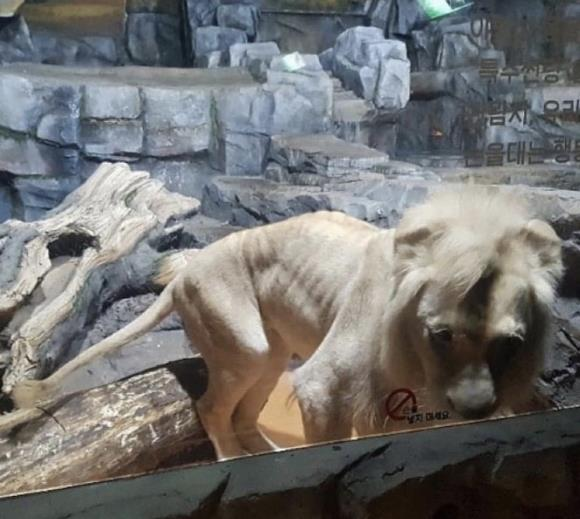 먹이체험 학습위한 굶주린 사자 실태  미친 부천 아쿠아리움 눈물이 난다. 이런데가 있다는게 믿기지 않네요.