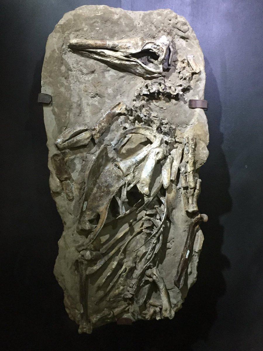 #FossilFriday: this really nice specimen of Spheniscus urbinai; Museo de Historia Natural, Lima <br>http://pic.twitter.com/ZHenGUVlAq