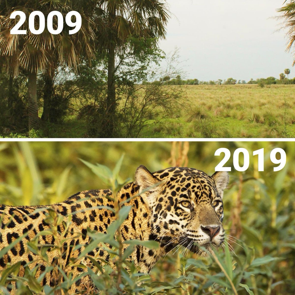 #10YearChallenge 10 years and 2 cubs later, the jaguar has made a comeback in Iberá National Park 🏞 with the help of @TompkinsConserv  #WildForLife