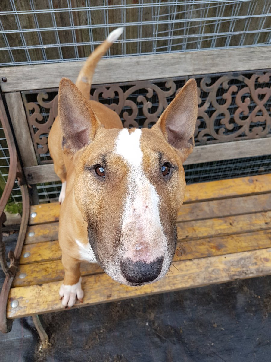 Did someone say squad selection is underway for #Crufts. I am going. Book this #dog in I am lifetime qualified. How many #BullTerrier and #MiniatureBullTerrier will enter this year. In total across both breeds? Maybe 200.<br>http://pic.twitter.com/Bq65kabM7b