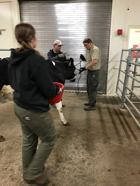 Animal care is ongoing at #FDA's Center for Veterinary Medicine. Our staff is making sure our young cows have fresh water and food; and our research biologists are caring for our salmon, trout and tilapia in our aquaculture facility, among many others. We love our animals!