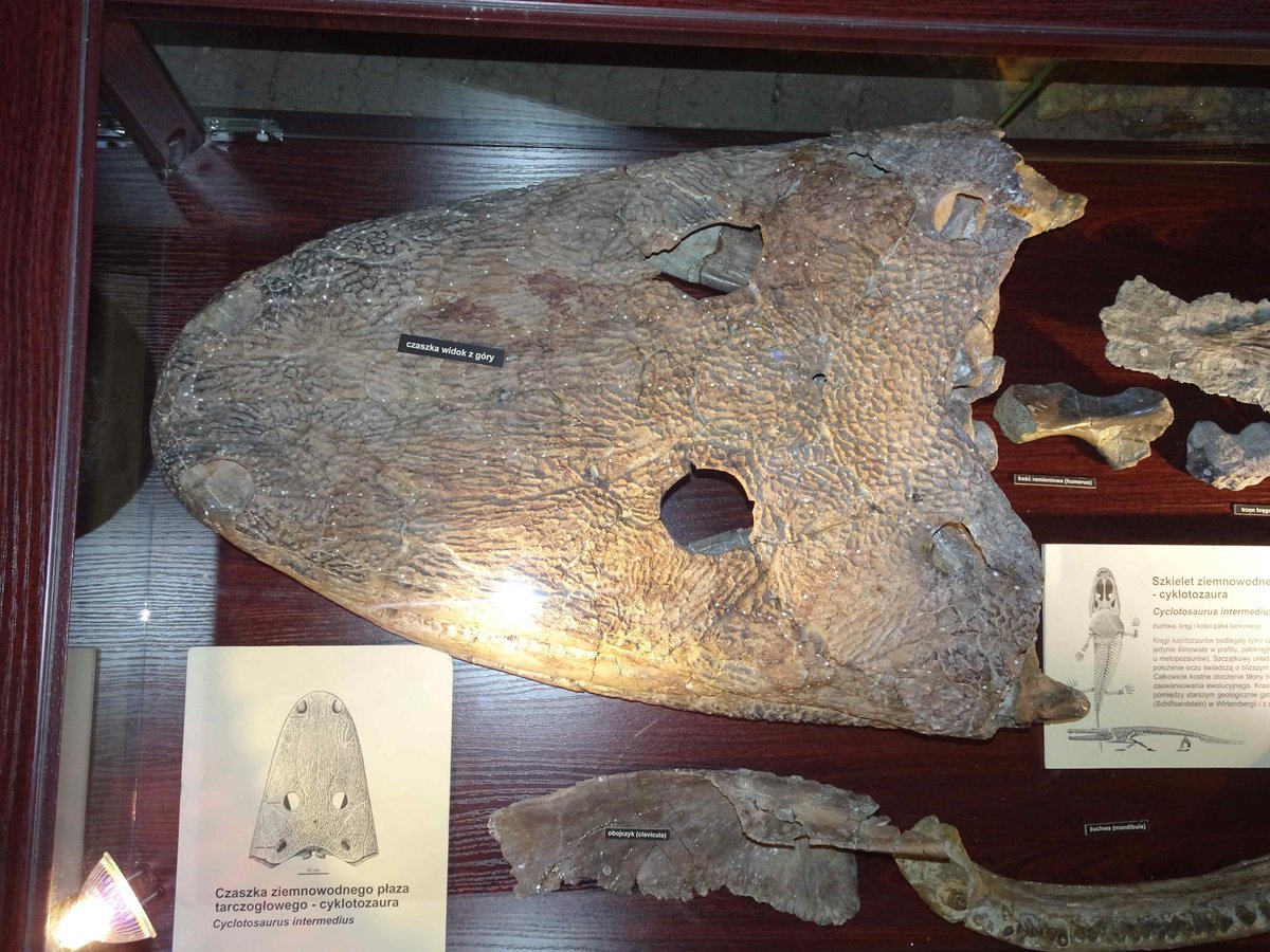Skull of the large stereospondyl amphibian Cyclotosaurus intermedius from the Late Triassic of Poland. #FossilFriday <br>http://pic.twitter.com/PcgXgern0Q
