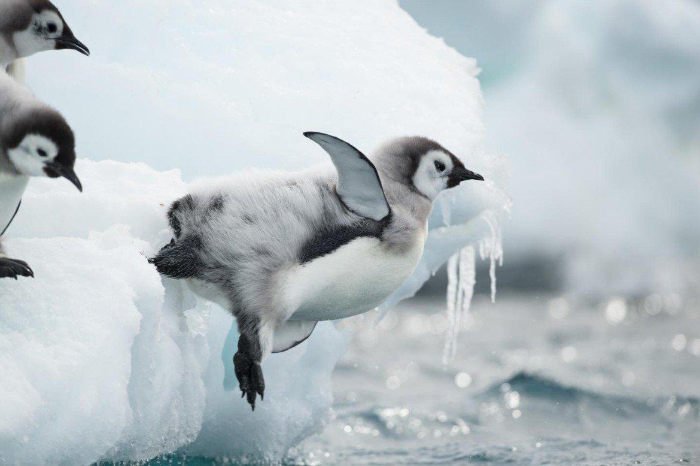 El #pingüino emperador es la especie más grande de pingüino. Son muy vulnerables al #cambioclimático porque sus ciclos de vida dependen mucho del hielo marino. ¿Sabías que cada hembra pone solo un huevo? #picoftheday