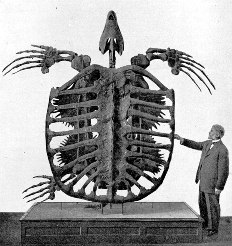 The MAHUSIVE extinct turtle, Archelon, at the Yale Peabody Museum. It swam in the oceans around 80 million years ago! (Image Frederic Lucas) #FossilFriday <br>http://pic.twitter.com/K8SmoL0nRz