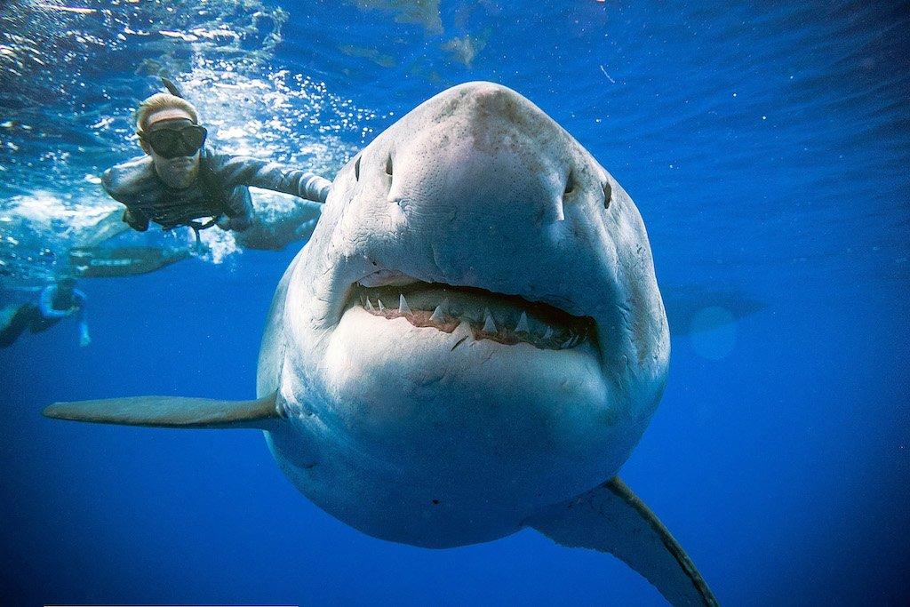 Divers spot giant white shark off Hawaii coast https://t.co/kVa5yBXgd2 #eNCANow #eNCAOnline Courtesy #DStv403