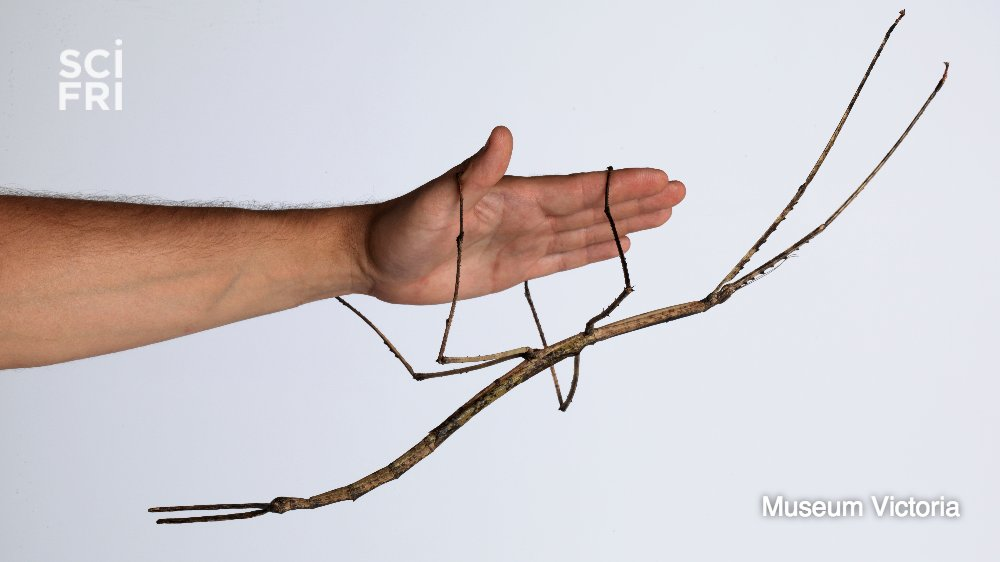 Good morning from this GIANT stick bug. https://t.co/sy7Xfs81x2