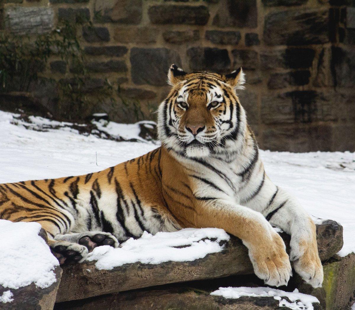 Our female Amur #tiger, Koosaka, enjoying a #snowday at the Zoo! 🐯❄ https://t.co/0GzuWmcuUK