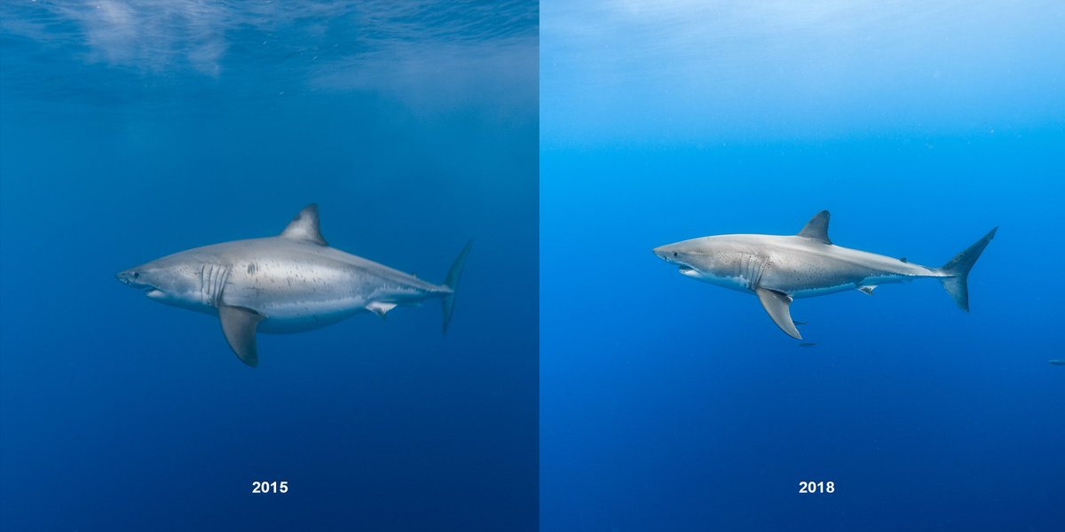 Further illustration of how a big meal (or meals) can alter the appearance of a white shark. The pic on the left is &quot;Pregnant&quot; Doug in 2015, and the pic on the right is Doug in 2018.  Several people on the 2015 dive mistook Doug for a pregnant female. And, yes, Doug is male. <br>http://pic.twitter.com/BiRPrz2nGe