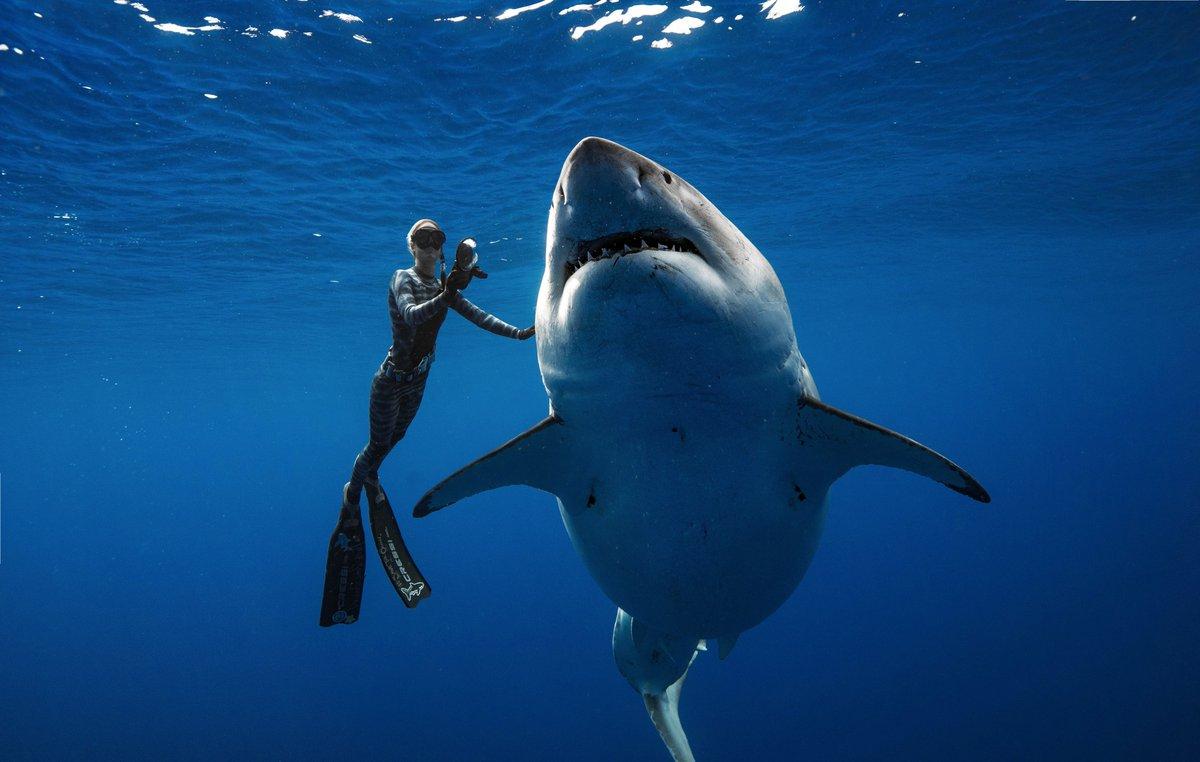 Vidéo : des plongeurs tombent nez à nez avec un requin blanc géant à Hawaï https://t.co/6Ho4PuTXcP