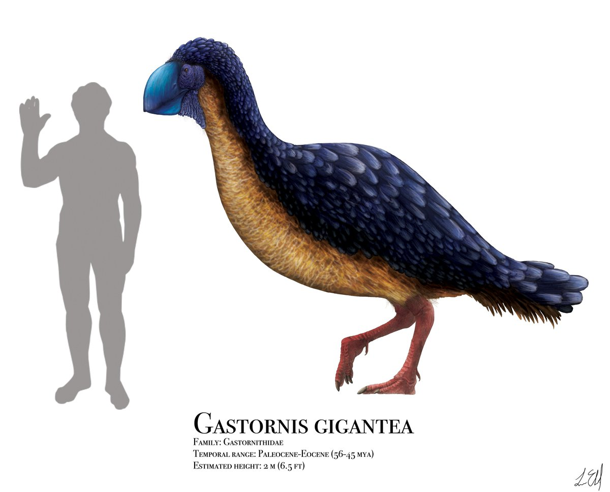 Happy #FossilFriday!!! Just finished my reconstruction of Gastornis, a giant bird from the early Cenozoic era (just after the dinosaurs), that stood up to 6ft 7in tall and likely cracked nuts &amp; seeds with that big beak. #paleoart #sciart #scientificillustration #paleontology<br>http://pic.twitter.com/TsWjZ9ZWmp