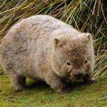 Image for the Tweet beginning: RT @LPtravelnews: Stop chasing wombats