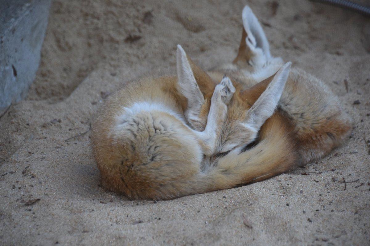 フェネックが妙な格好で寝てました。