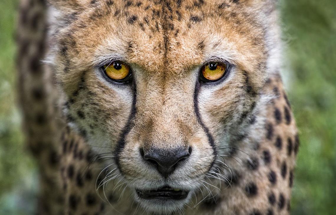 ¿Sabías que los #guepardos son animales muy tímidos? No te pierdas esta galería fotográfica. https://t.co/AMLZYe8X3P  #naturaleza