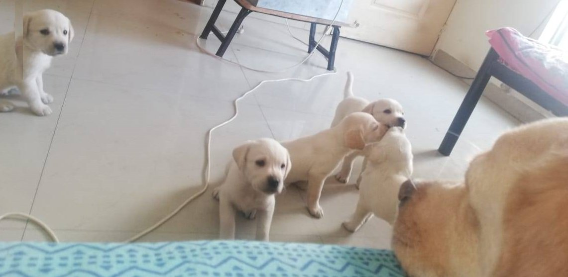 A #dog is the only thing on #earth that #loves you more than he loves himself. Go and Check Out this #Pure #Labrador #Champion #Breed now on #Buynuse #BuynusePets& #Care #Dogs.