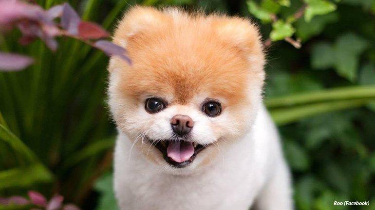 'World's Cutest Dog' Boo dies at age 12 https://t.co/9lcgq74Gfe