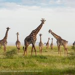 Image for the Tweet beginning: After watching giraffes constantly in