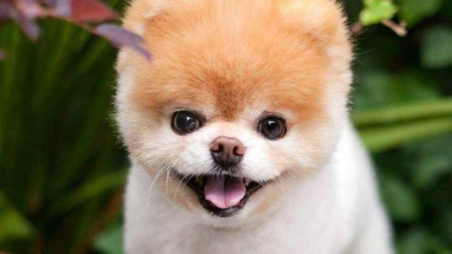 Boo, World's Cutest Dog, has died 2wsb.tv/2AW4W2b